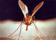 Flebotomo: mosquito transmisor de la leishmania